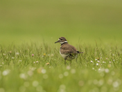 Killdeer (9937)