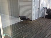 Turkey on the deck