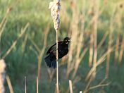 Male red winged blackbird: May song