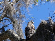 Marsh Hawk Surrounded By Spanish Moss
