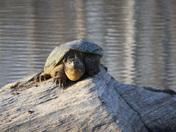 sanping turtle
