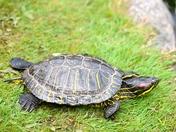Painted turtle.