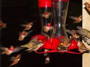 Rufous Hummingbird Swarm