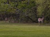 Deer on Wellington Hill