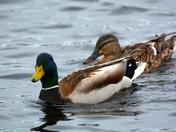 Dapper Duckies