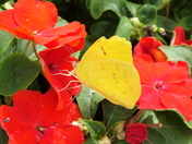 Yellow butterfly red flower