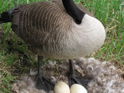 A proud mother goose to be!