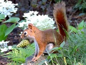 Busy red squirrel