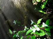 Ontario Trillium Sunbeam