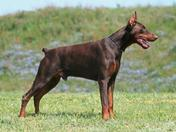 Full Breed Male Doberman Pinscher