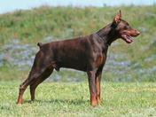 Full Breed Male Doberman Pinscher