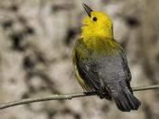 Prothonatory Warbler