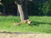 Fox family.