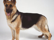 Full Breed German Shepherd