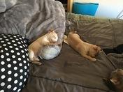 My 3 chihuahuas