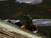 turtle trying to get on a log