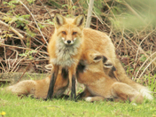Mother Red fox with kits
