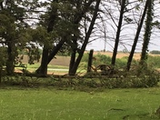 several trees uprooted