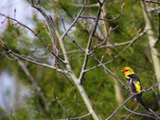 Perched Tanager