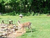 Deer At The Bird Feeders This Morining Around 9:45