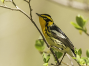Blackburnian Warbler Portrait