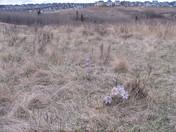 Prairie crocus in bloom