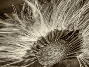 Monochrome Coltsfoot seed head