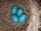 American Robin's nest was a huge surprise after my 10 days absence.