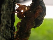 Cicada emergence