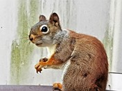 Rosy the red squirrel