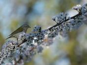 Tennessee Warbler and Plum tree flowering