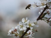 Honeybee  and Plum tree flowering