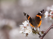 Butterfly  and Plum tree flowering