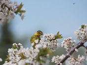 Canary bird  and Plum tree flowering