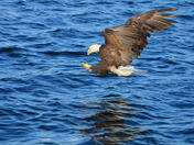 Bald Eagle about to get lunch