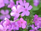Flocks of Phlox