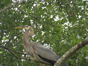Brown heron bird