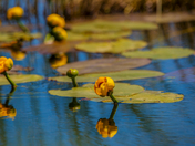 Summer Lily Pad by Sylvain Champagne