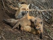 Mama Red Fox with a few of her adorable cubs