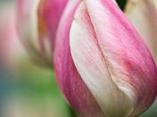 EG_046 | Tulip