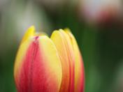 EG_047 | Tulip
