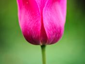 EG_048 | Tulip