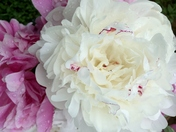 Peonies~it's that time of year!