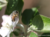 Bee and the Apple Tree