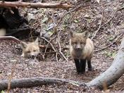"""""""Fox Kits"""""""