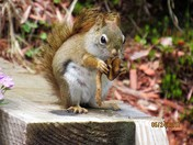 Red squirrel eating a wild mushroom.