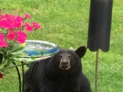 Just a leisurely visit from the neighborhood black bear.
