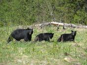 Black Bears in the woods.