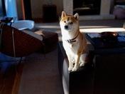 Casey the Shiba Inu dog
