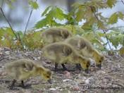 Goslings' Walkabout